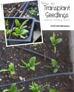 How to Transplant Seedlings from OneCreativeMommy {Tricks to avoid shocking the plant and accidentally killing it}