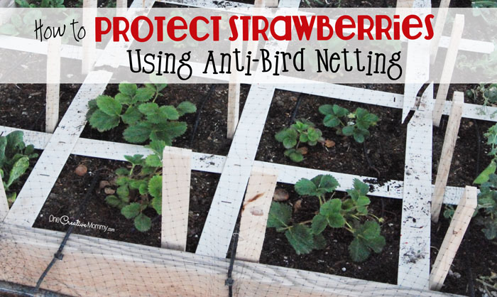 Protect Strawberry Plants With Anti Bird Netting