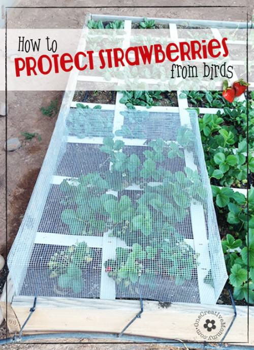 Do birds get to eat more strawberries from your garden than you do?  Learn how to protect strawberries from birds with my strawberry cage tutorial {OneCreativeMommy.com} #gardening #gardeningtips #gardeninghacks #strawberries