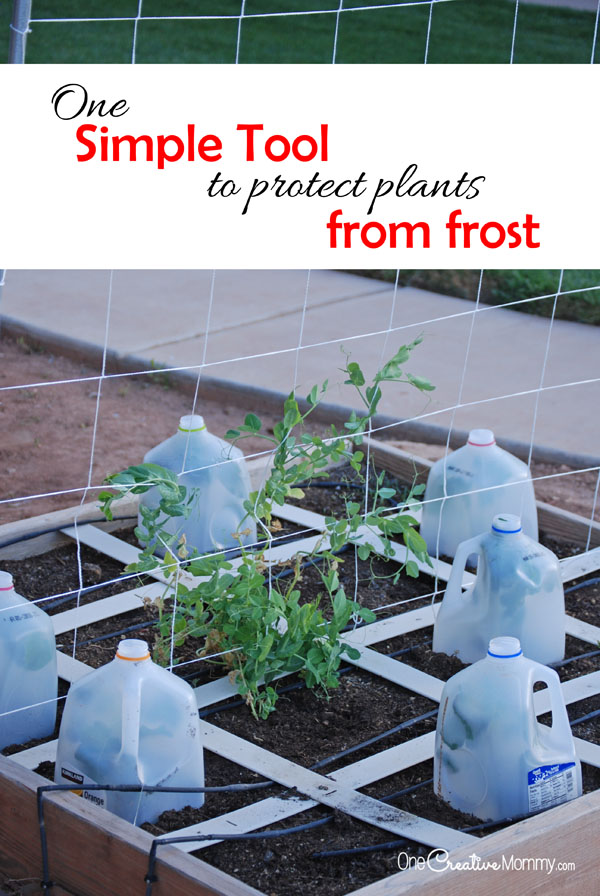 One simple tool to protect plants from frost! Recycled milk jugs actually help your seedlings through early spring! {OneCreativeMommy.com} Gardening Tips